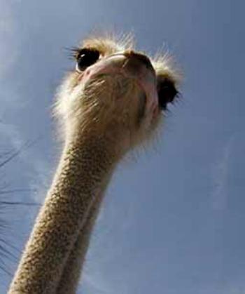actividades para niños avestruz